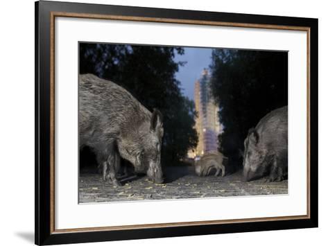 Wild Boar (Sus Scrofa) Sow-Florian Mallers-Framed Art Print