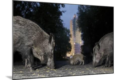 Wild Boar (Sus Scrofa) Sow-Florian Mallers-Mounted Photographic Print