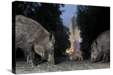 Wild Boar (Sus Scrofa) Sow-Florian Mallers-Stretched Canvas Print