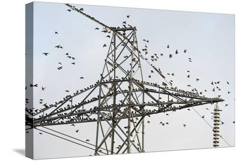 Flock of Starlings (Sturnus Vulgaris) Flying to Roost on Electricity Pylon-Terry Whittaker-Stretched Canvas Print