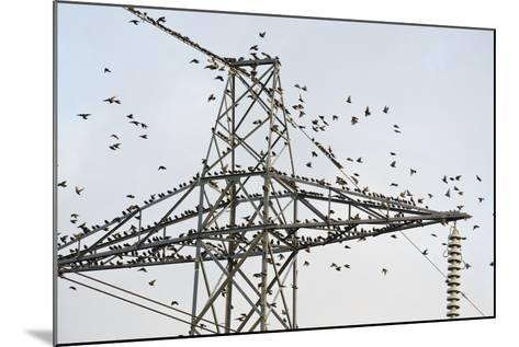 Flock of Starlings (Sturnus Vulgaris) Flying to Roost on Electricity Pylon-Terry Whittaker-Mounted Photographic Print