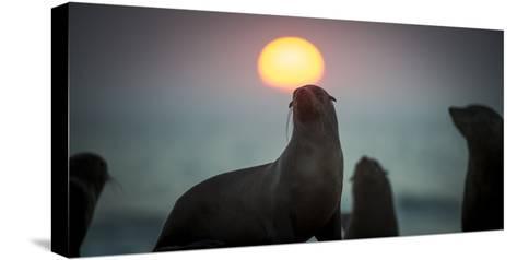 South African Fur Seal (Arctocephalus Pusillus Pusillus) with Setting Sun, Walvis Bay, Namibia-Wim van den Heever-Stretched Canvas Print