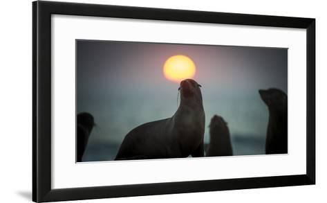 South African Fur Seal (Arctocephalus Pusillus Pusillus) with Setting Sun, Walvis Bay, Namibia-Wim van den Heever-Framed Art Print