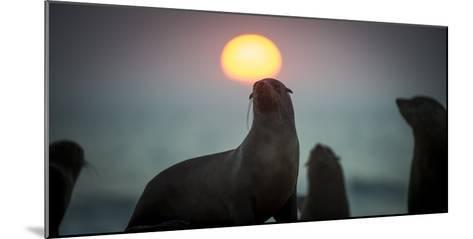 South African Fur Seal (Arctocephalus Pusillus Pusillus) with Setting Sun, Walvis Bay, Namibia-Wim van den Heever-Mounted Photographic Print