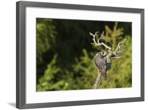 Peregrine Falcon (Falco Peregrinus)-Dr. Axel Gebauer-Framed Art Print