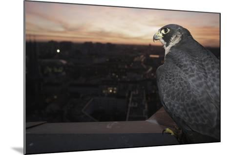 Peregrine Falcon (Falco Peregrinus) Captive-Florian Mã¶Llers-Mounted Photographic Print