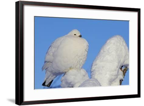 Willow Grouse - Ptarmigan (Lagopus Lagopus) Fluffed Up Perched in Snow, Inari, Finland, February-Markus Varesvuo-Framed Art Print
