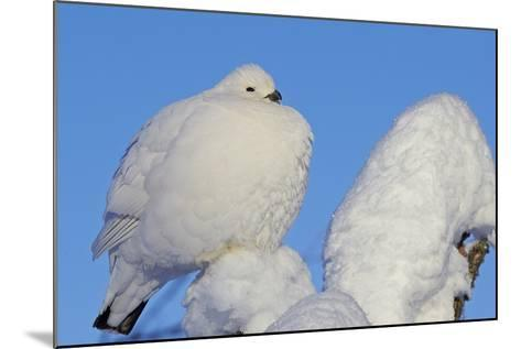 Willow Grouse - Ptarmigan (Lagopus Lagopus) Fluffed Up Perched in Snow, Inari, Finland, February-Markus Varesvuo-Mounted Photographic Print