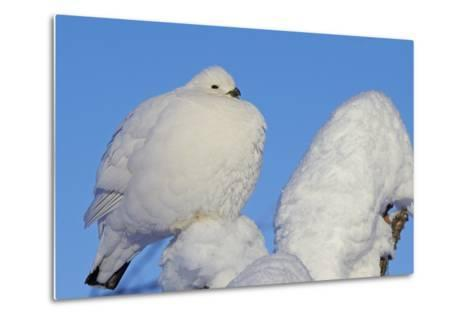 Willow Grouse - Ptarmigan (Lagopus Lagopus) Fluffed Up Perched in Snow, Inari, Finland, February-Markus Varesvuo-Metal Print