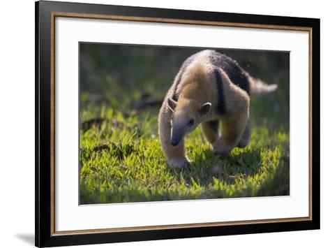 Southern Tamandua (Tamandua Tetradactyla) Pantanal, Brazil-Hermann Brehm-Framed Art Print