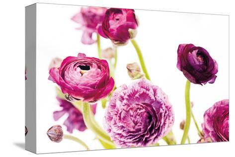 Spring Ranunculus IV-Laura Marshall-Stretched Canvas Print