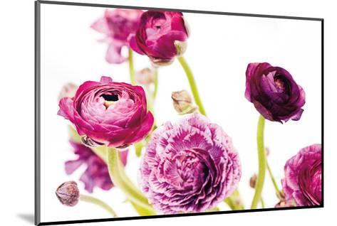 Spring Ranunculus IV-Laura Marshall-Mounted Art Print