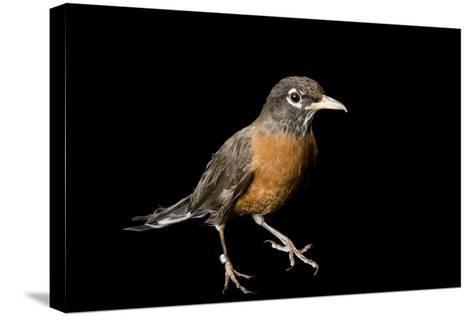 An American Robin, Turdus Migratorius.-Joel Sartore-Stretched Canvas Print