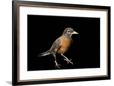 An American Robin, Turdus Migratorius.-Joel Sartore-Framed Art Print