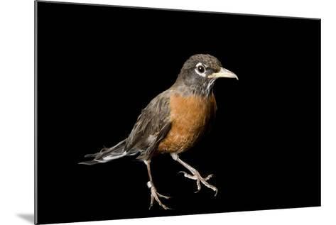 An American Robin, Turdus Migratorius.-Joel Sartore-Mounted Photographic Print