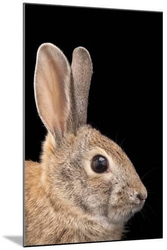 A Desert Cottontail Rabbit, Sylvilagus Audubonii.-Joel Sartore-Mounted Photographic Print
