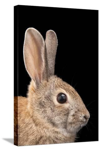 A Desert Cottontail Rabbit, Sylvilagus Audubonii.-Joel Sartore-Stretched Canvas Print