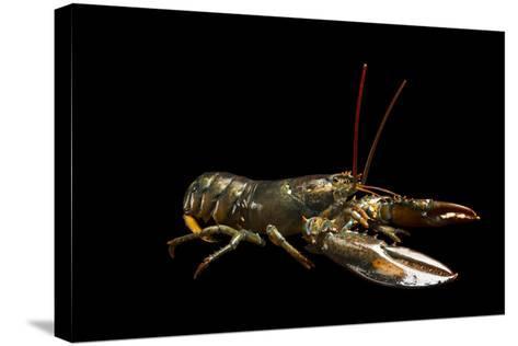A Studio Portrait of an American Lobster, Homarus Americanus.-Joel Sartore-Stretched Canvas Print