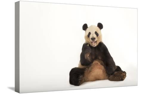 An Endangered Giant Panda, Ailuropoda Melanoleuca.-Joel Sartore-Stretched Canvas Print