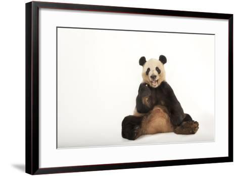 An Endangered Giant Panda, Ailuropoda Melanoleuca.-Joel Sartore-Framed Art Print