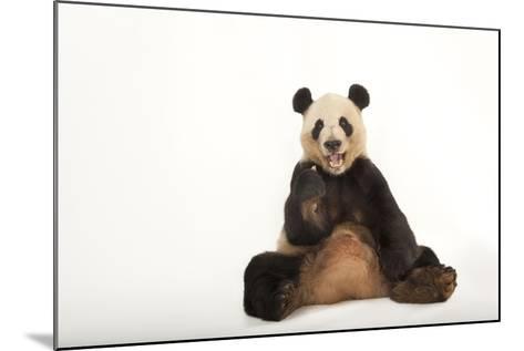 An Endangered Giant Panda, Ailuropoda Melanoleuca.-Joel Sartore-Mounted Photographic Print