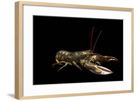 A Studio Portrait of an American Lobster, Homarus Americanus.-Joel Sartore-Framed Art Print
