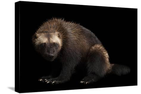 A Wolverine, Gulo Gulo, at New York State Zoo, a Candidate Species for Federal Protection.-Joel Sartore-Stretched Canvas Print