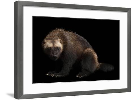 A Wolverine, Gulo Gulo, at New York State Zoo, a Candidate Species for Federal Protection.-Joel Sartore-Framed Art Print