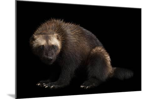A Wolverine, Gulo Gulo, at New York State Zoo, a Candidate Species for Federal Protection.-Joel Sartore-Mounted Photographic Print