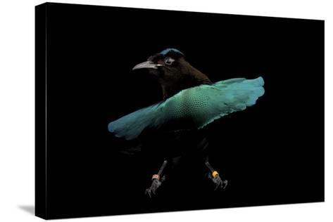 A Superb Bird-Of-Paradise, Lophorina Superba.-Joel Sartore-Stretched Canvas Print