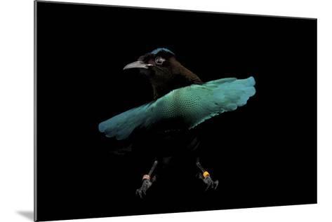 A Superb Bird-Of-Paradise, Lophorina Superba.-Joel Sartore-Mounted Photographic Print