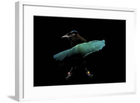 A Superb Bird-Of-Paradise, Lophorina Superba.-Joel Sartore-Framed Art Print