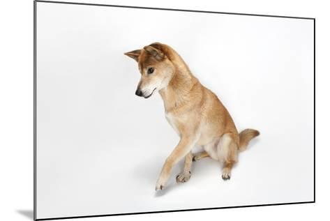 A New Guinea Singing Dog, Canis Lupus Hallstromi-Joel Sartore-Mounted Photographic Print