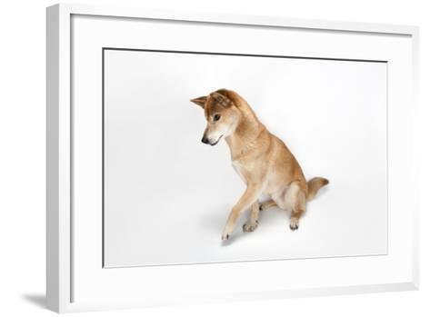 A New Guinea Singing Dog, Canis Lupus Hallstromi-Joel Sartore-Framed Art Print