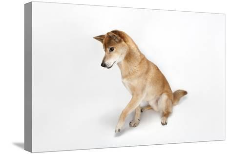 A New Guinea Singing Dog, Canis Lupus Hallstromi-Joel Sartore-Stretched Canvas Print
