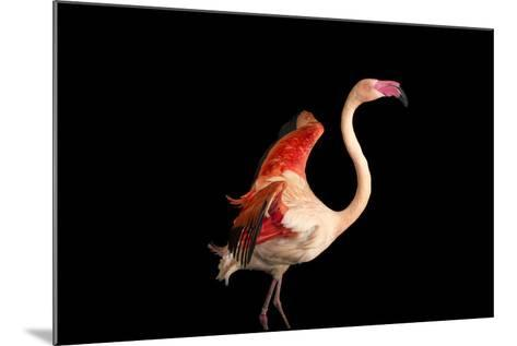 A Fifteen Year Old Greater Flamingo, Phoenicopterus Roseus.-Joel Sartore-Mounted Photographic Print