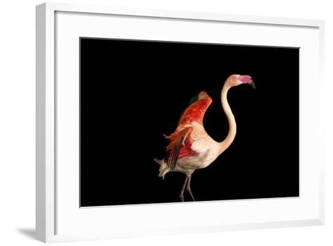 A Fifteen Year Old Greater Flamingo, Phoenicopterus Roseus.-Joel Sartore-Framed Art Print