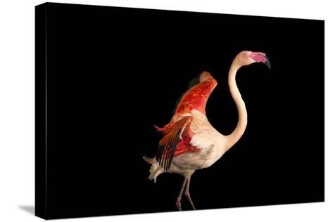 A Fifteen Year Old Greater Flamingo, Phoenicopterus Roseus.-Joel Sartore-Stretched Canvas Print