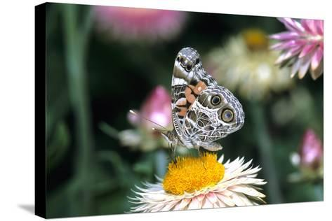 American Lady Butterfly on Outback Paper Daisy, Marion County, Illinois-Richard and Susan Day-Stretched Canvas Print