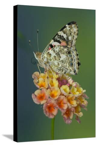 American Painted Lady Butterfly-Darrell Gulin-Stretched Canvas Print