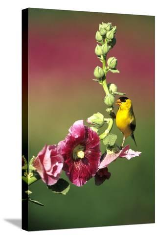 American Goldfinch Male on Hollyhock, Marion, Il-Richard and Susan Day-Stretched Canvas Print