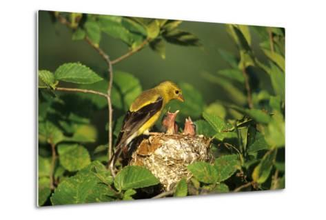 American Goldfinch Female with Nestlings at Nest, Marion, Il-Richard and Susan Day-Metal Print