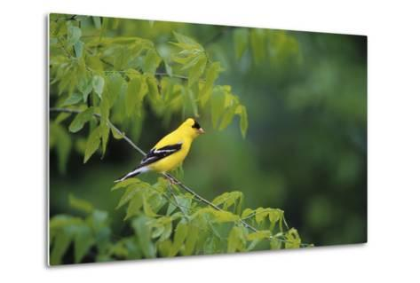 American Goldfinch Male in Common Hackberry Tree, Marion, Il-Richard and Susan Day-Metal Print
