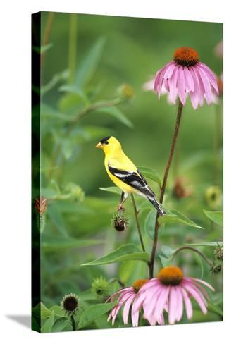 American Goldfinch Male on Purple Coneflower, Marion County, Illinois-Richard and Susan Day-Stretched Canvas Print