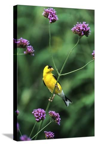 American Goldfinch Male on Brazilian Verbena in Garden, Marion, Il-Richard and Susan Day-Stretched Canvas Print