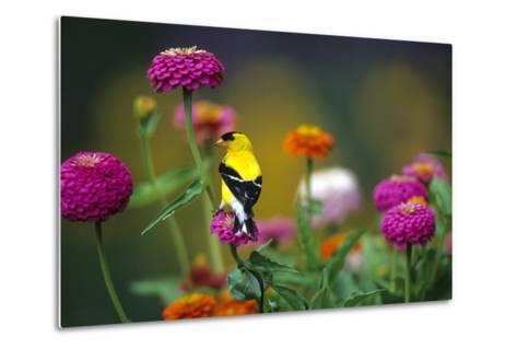 American Goldfinch Male on Zinnias in Garden, Marion, Il-Richard and Susan Day-Metal Print