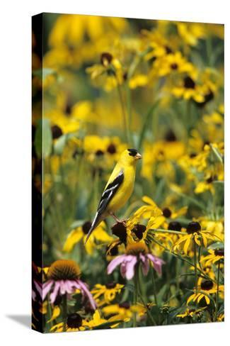 American Goldfinch Male on Black-Eyed SUSAns Marion County, Illinois-Richard and Susan Day-Stretched Canvas Print