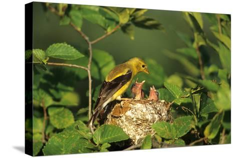 American Goldfinch Female with Nestlings at Nest, Marion, Il-Richard and Susan Day-Stretched Canvas Print