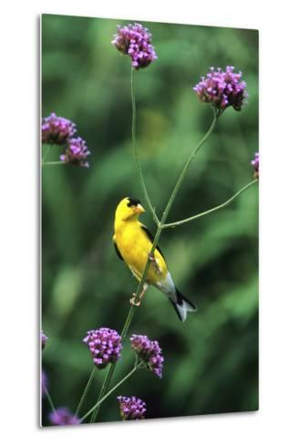 American Goldfinch Male on Brazilian Verbena in Garden, Marion, Il-Richard and Susan Day-Metal Print