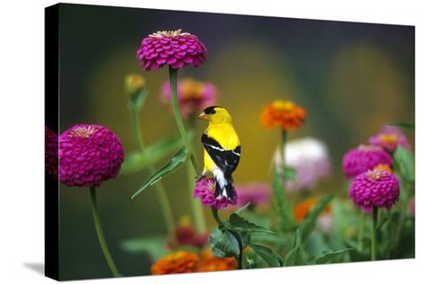 American Goldfinch Male on Zinnias in Garden, Marion, Il-Richard and Susan Day-Stretched Canvas Print